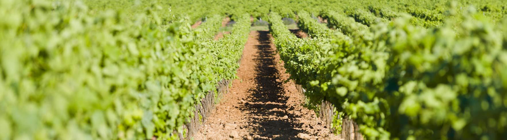 Vignes vin var provence