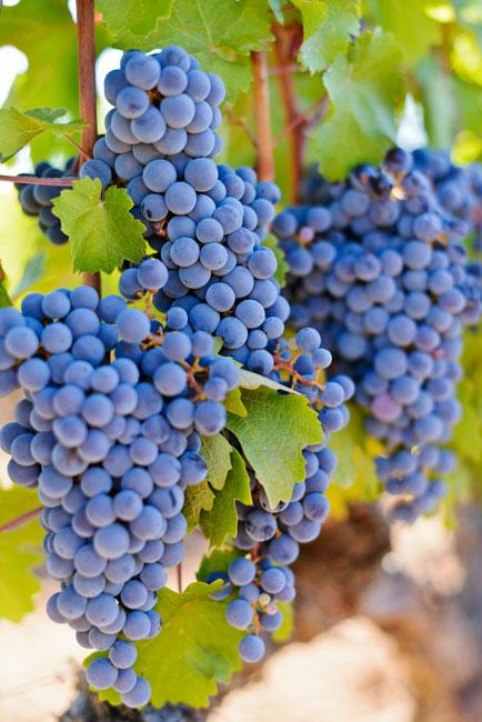 Raisins Vin toureveque